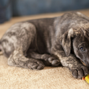 Brindle great dane pup bitting on its dog toy.PNG