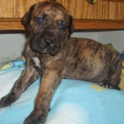 Brindle great dane puppy picture.PNG