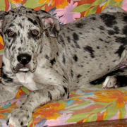 blue great dane puppies for sale aren't often available.PNG