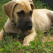 Fawn great dane puppy rescue isn't many available.PNG
