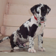 Funny dog picture of a harlequin great dane dog peeing.PNG