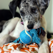 Harlequin great dane puppy playing with its dog toy.PNG