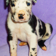 Young harlequin great dane puppy pictures.PNG