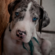 Beautiful puppy picture of a super cute great dane breed.PNG