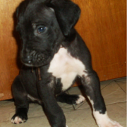 Black great dane puppy dog with white spots.PNG