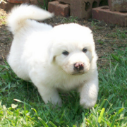 Running Pyrenees  puppin in snow white.PNG