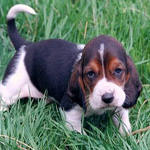 Beagle puppy with serious look.jpg