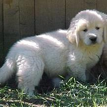 Golden Retriever_white