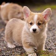 Tan and white Welsh Corgi pictures.JPG