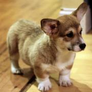 Puppies short legs photos of Welsh Corgi puppy.JPG