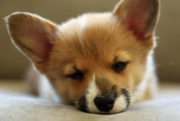 Sleep puppy face of welsh Corgi dog pictures.JPG