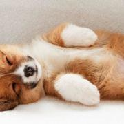 Sleeping puppy picture of Welsh Corgi dogs.JPG
