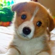 Small puppy photos of Welsh Corgi.JPG