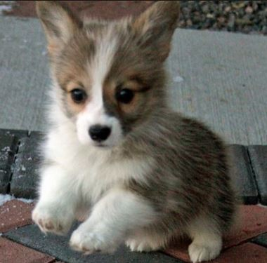 Small size dogs picture of Welsh Corgi puppy.JPG