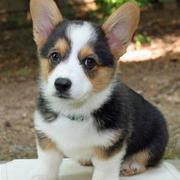 Tan white black Welsh Corgi puppy photos.JPG