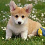 Tan white puppy pictures of Welsh corgi pup playing with ball in the back yard.JPG
