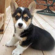 Three toned color dogs picture of Welsh Corgi pup.JPG
