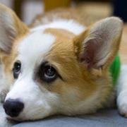 Welsh Corgi dog with short legs.JPG