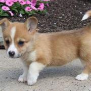 Welsh Corgi dogs photos.JPG