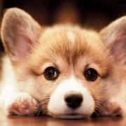 Welsh Corgi pup images.JPG