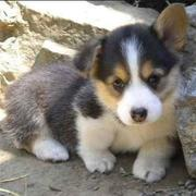 Welsh Corgi pup photos.JPG
