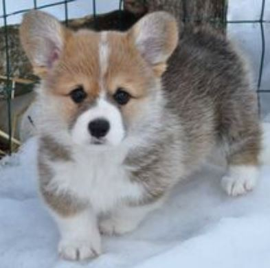 Welsh Corgi puppy pictures.JPG