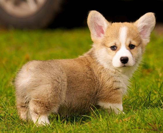 Welsh Corgi puppy playing on the grass.JPG