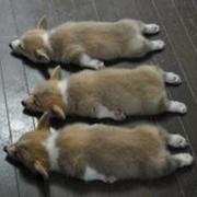 Welsh Corgi pups photos.JPG