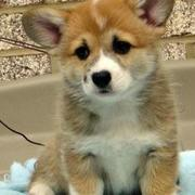 White and tan Welsh Corgi photos.JPG
