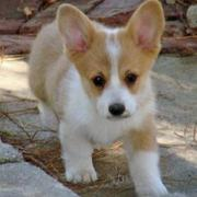 White tan dogs picture of Welsh Corgi puppy.JPG
