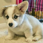 White Welsh Corgi puppy picture.JPG