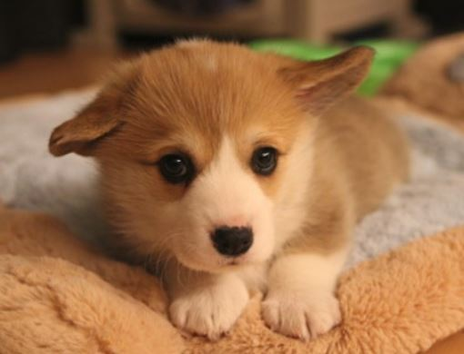 Young puppy pictures of Welsh Corgi dog.JPG