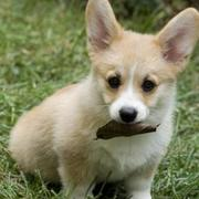 Pembroke Welsh Corgi puppy playing and bitting on a leaf.JPG