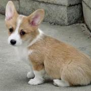Photo of Welsh Corgi in tan white.JPG