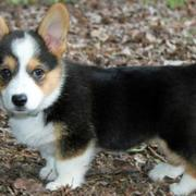 Black Welsh Corgi with tan and white patterns.JPG