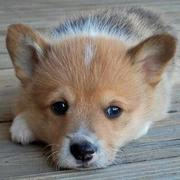 Close up picture of puppy face Welsh Corgi.JPG