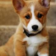 Cute puppy photos of Welsh Corgi dog.JPG