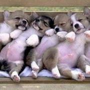Funny and cute puppies picture of Welsh Corgi dogs.JPG