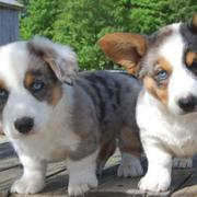 Mixed Cardigan Welsh Corgi puppy pictures.JPG