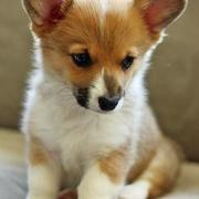 Adorable dogs pictures of Welsh Corgi puppy.JPG