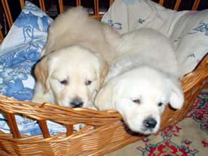 golden_retriever_two puppies