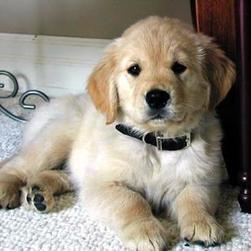 golden-retriever pup