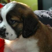 Sweet puppy photo of St. Bernard dog in reddish brown white and a bit of black.JPG