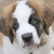 Puppy face pictures of St Bernard dog in three tones.JPG