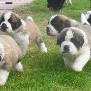 Saint Bernard how to breed those beautiful dogs.JPG