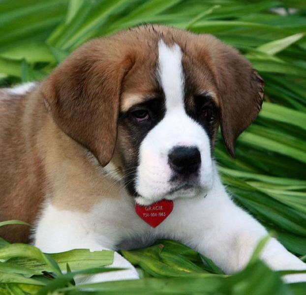 Saint Bernard puppy pictures.JPG
