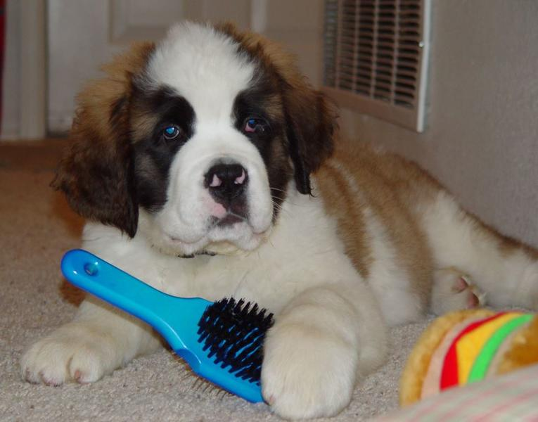 St Bernard puffy puppies pictures playing with his dog fur brush.JPG