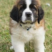 St. Bernard puppy pictures standing on the grass looking cutely straight at the camera.JPG