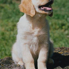golden-retriever_cute expression