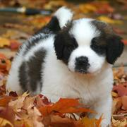 Cute puppy pictures of  St. Bernard dog.JPG